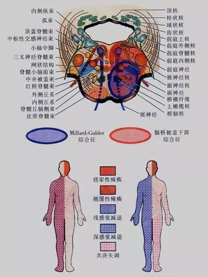 中枢神经脊髓形态结构图