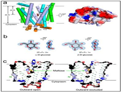 葡萄糖转运蛋白GLUT3三维结构揭示